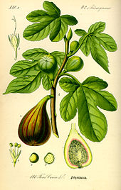 Illustration Ficus carica0.jpg