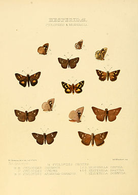 Illustrations of new species of exotic butterflies Cyclopides & Hesperilla.jpg