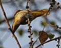 Indian Golden Oriole (Oriolus kundoo), feeding on Ficus religiosa W IMG 8195.jpg
