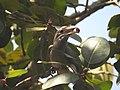 Indian Gray Hornbill feeding on Ficus benghalensis DSCN3784.jpg