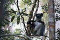 Indri indri 0007.jpg