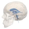 Interthalamic adhesion - 3rd ventricle - 04.png