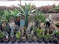 "Iran-qom-Cactus-The greenhouse of the thorn world گلخانه کاکتوس ""دنیای خار"" در روستای مبارک آباد قم- ایران 22.jpg"