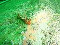Iridescent nudibranch at Lorry Bay PB012007.JPG