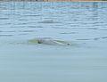 Irrawaddy Dolphins (Orcaella brevirostris) (15659724227).jpg