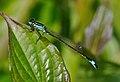 Ischnura elegans qtl8.jpg
