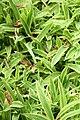 Island Brocade Carex siderosticha) (3577717320).jpg