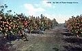 Isle of Pines - Orange grove.jpg