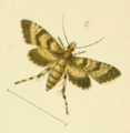 Isonomeutis amauropa by George Vernon Hudson.png
