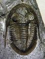 Isotelus maximus fossil trilobite (Flat Run Trilobite Lagerstatte, Arnheim Formation, Upper Ordovician; Flat Run Quarry, far-southwestern Highland County, southwestern Ohio, USA) 1 (15259810201).jpg
