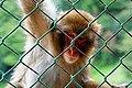Iwatayama Monkey Park (3810490929).jpg