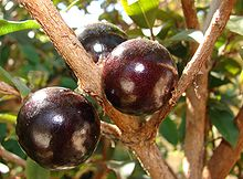 arvores frutiferas jabuticabeira