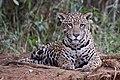 Jaguar (Panthera onca palustris) female Piquiri River.JPG