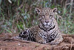 Jaguar (Panthera onca palustris) female Piquiri River.JPG