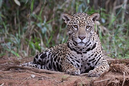 South American jaguar at Piquiri River, Mato Grosso state, Brazil Jaguar (Panthera onca palustris) female Piquiri River.JPG