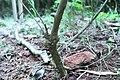 Jasminum grandiflorum 01.jpg