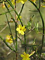 Jasminum nudiflorum (16571270087).jpg