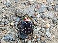 Jewel Bug.jpg
