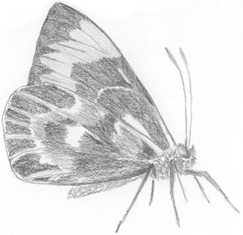 Pencil drawing of butterfly