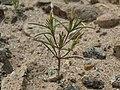 Jones linanthus, Linanthus jonesii (16367806706).jpg