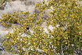 Joshua Tree National Park - Larrea tridentata - 5.JPG