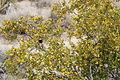 Joshua Tree National Park - Larrea tridentata - 5.JPG
