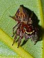 Jumping Spider (Burmattus sp. ?) (15273540288).jpg