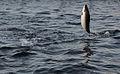 Jumping salmon 1.jpg