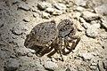 Jumping spider Aelurillus leipoldae front 03.jpg