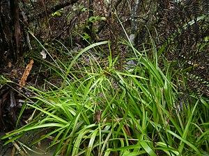 Juncus planifolius - Image: Juncus planifolius 11