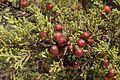 Juniperus-phoenicea-berry-cones 1.JPG
