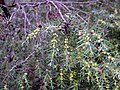 Juniperus oxycedrus pollencones SierraMadrona.jpg