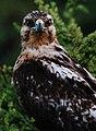 Juvenile Galápagos hawk (4202571368).jpg