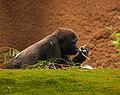 Juvenile Gorilla (3847034028).jpg