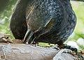 Kākā parrot sap-feeding on an exotic Norfolk pine tree in a suburban garden in Wellington.jpg