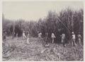 KITLV - 5422 - Kurkdjian - Soerabaja - Cutting garden of the sugar plantation Ketanen near Mojokerto - 1916-04.tif