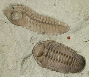 Evidence of common descent - Figure 3b: Fossil trilobite, Kainops invius from the early Devonian. Trilobites were hard-shelled arthropods, related to living horseshoe crabs and spiders, that first appeared in significant numbers around 540 mya, dying out 250 mya.