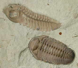 Evidence of common descent - Figure 3b: Fossil trilobite, Kainops invius, from the early Devonian. Trilobites were hard-shelled arthropods, related to living horseshoe crabs and spiders, that first appeared in significant numbers around 540 mya, dying out 250 mya.