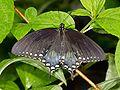Kaldari Papilio troilus.jpg