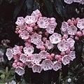 Kalmia latifolia (13082525444).jpg