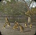 Kangaroos in Zoo, Adelaide (4749655401).jpg