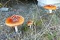 Kaszubski Park Etnograficzny, Wdzydze Kiszewskie, mushroom.JPG