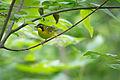 Kentucky Warbler (Geothlypis formosa) (18526547692).jpg