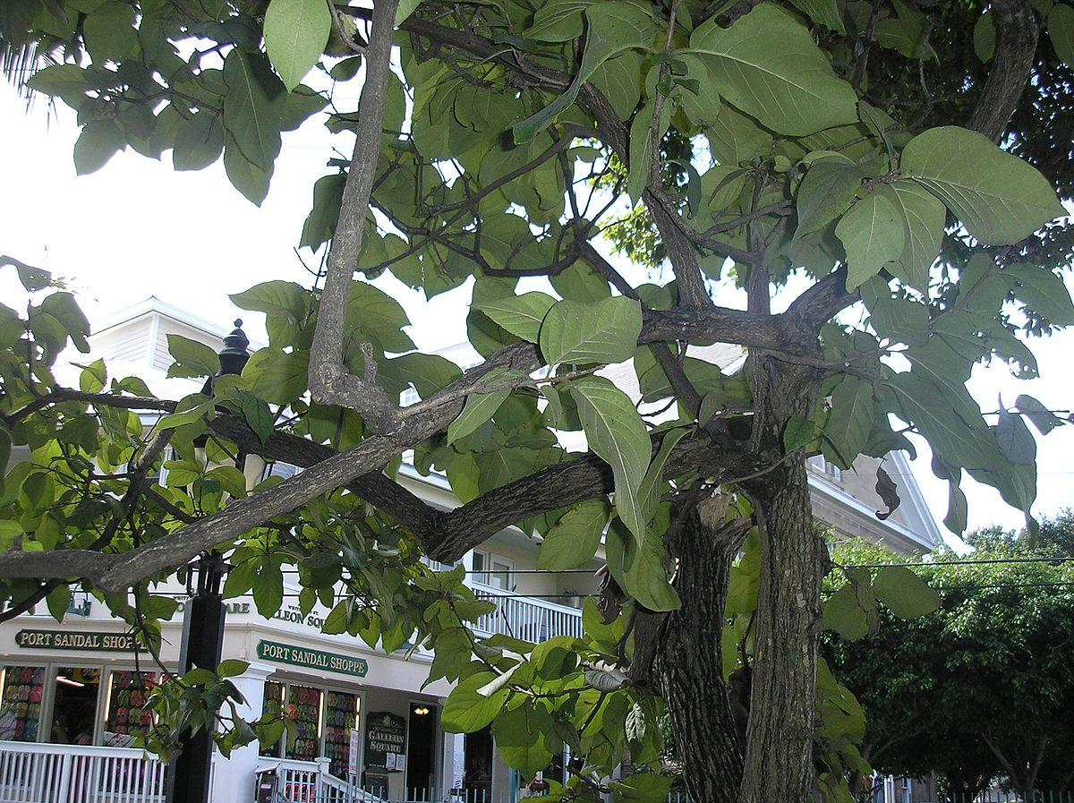 Bosque y jard n bot nico de cayo hueso wikipedia la for Carson bosque y jardin