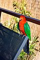 King Parrot at Witches Falls Cottages (12064227324).jpg