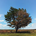 Kissimmee Prairie Preserve State Park Florida - Oak Tree and Cabbage Palm Prairie.jpg