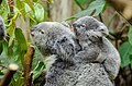 Koala (26068494991).jpg