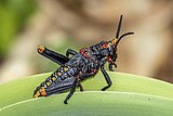 Koppie foam grasshopper (Dictyophorus spumans spumans) nymph.jpg