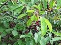 Korina 2011-08-15 Prunus serotina 1.jpg