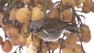 File:Kramsvogels op hangend fruit-4961780.webm